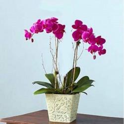 İkili Mor orkide Bitkisi